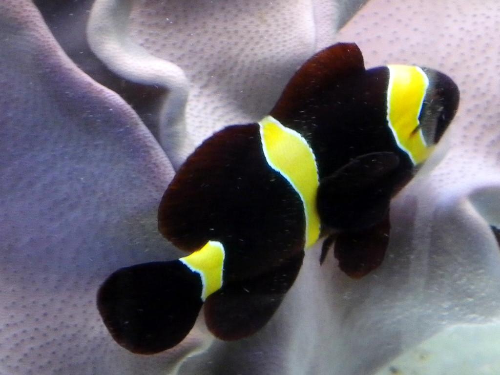 Item number cf06 for Clown fish scientific name
